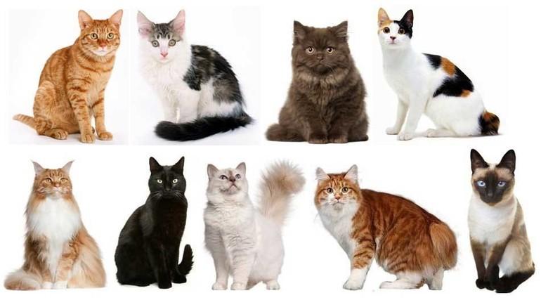 Как узнать породистая ли кошка
