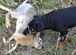Добыча в виде заяца