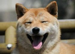 Морда улыбающейся собаки