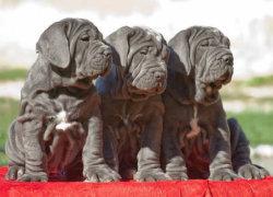 Три щенка мастино