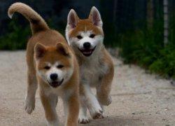 Забавные щенки акита-ину