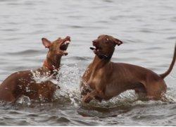Фараоновы животные играют в воде