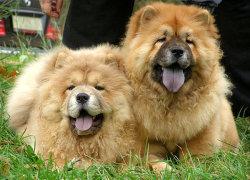 Два Чау-Чау лежат на траве