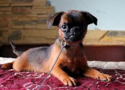 Маленький пти-брабансон