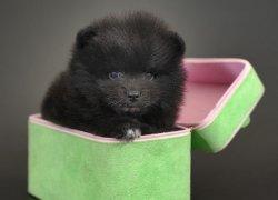 Черный померанец медвежьего типа