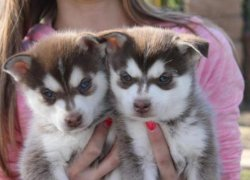 Два щенка кли-кая