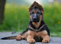Подросший щенок овчарки