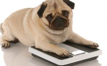 Чем кормить собаку, чтобы она набрала вес и как приучить ее к сухому корму?