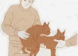 Правильная случка мелких собак