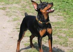 Черно-палевый пес
