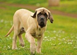 Подросший щенок