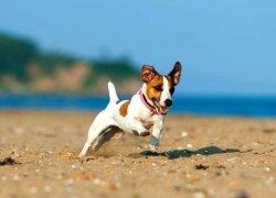 Щенок Джек Рассел Терьера бежит по песку