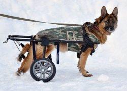 Овчарка на зимней прогулке в инвалидном кресле