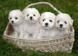 Маленькие щенки в корзине