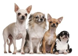 Четыре собаки чихуахуа