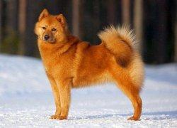 Карело-финская порода