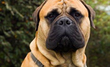 Обзор собак породы Бульмастиф: стандарт, уход, содержание и фото питомцев