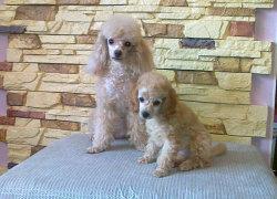 Два рыжих щенка