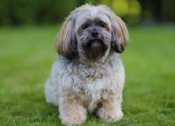 Собака лхаса апсо на траве