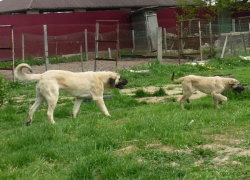 Взрослый кангал и щенок