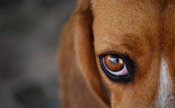 Что делать, если у собаки слезятся глаза, причины, советы, лечение