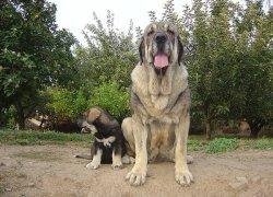 Взрослый мастиф со щенком