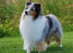 Трехцветная шетландская овчарка