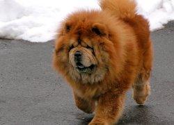 Чау-чау - собака-лев шагает