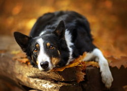 Короткошерстная собака красивого окраса