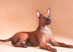 Красивый красный пес