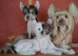 Собаки породы Китайская Хохлатая