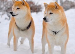 Две шиба-ину на снегу