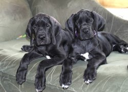 Два щенка немецкого дога