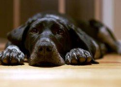 Апатическое состояние у собаки