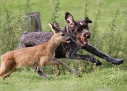 Немецкая легавая преследует оленя