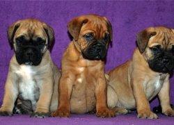 Три щенка бульмастифа