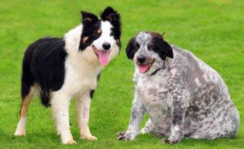 Сколько весит самая толстая собака в мире: обзор и фото мохнатого питомца