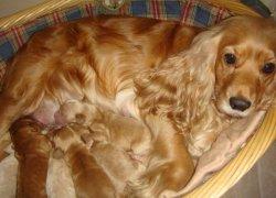 Мама спаниеля со щенками