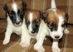 Три щенка фокстерьера