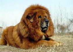 Тибетский мастиф весом 80 кг