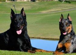 Две собаки возле реки