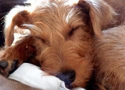 Рыжик-щенок мило спит