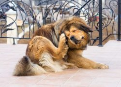 Пес чешет ухо