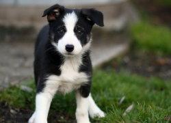 Милый щенок Колли