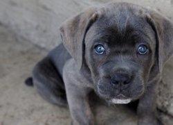 Серый щенок итальянского мастифа