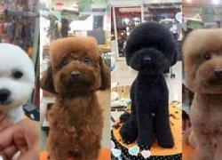 Четыре собаки-модели после стрижки