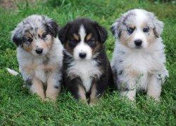 Три щенка австралийской овчарки