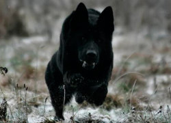 Немецкая черная овчарка в прыжке