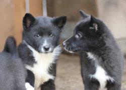 Два черных щенка лайки