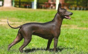 Обзор породы собак Ксолоитцкуинтли (Мексиканская голая собака, Ксоло), фото